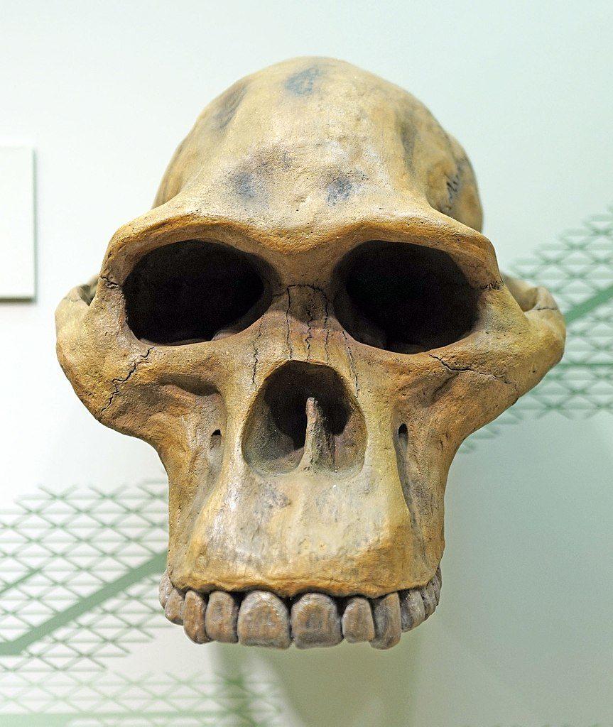 """Craniul de: """"Australopitecus-Africanus"""""""
