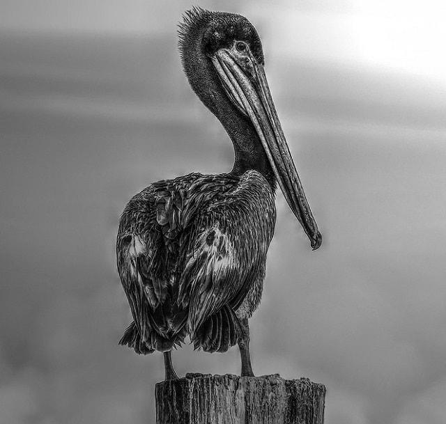 pelican negru
