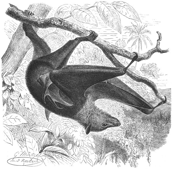vulpea zburatoare