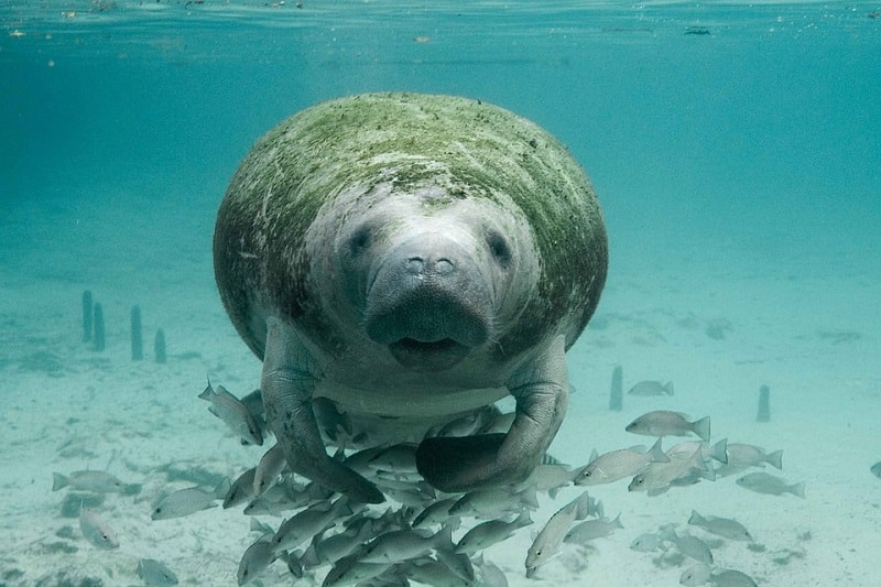 Asa arata un Dugong
