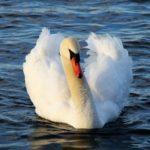 Lebada – Simbolul nobletei si elegantei
