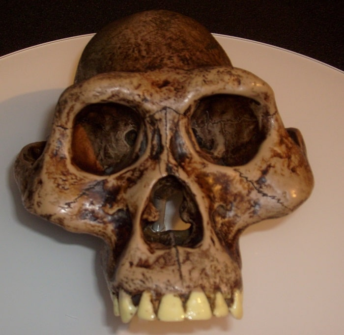 Craniu de australopitec