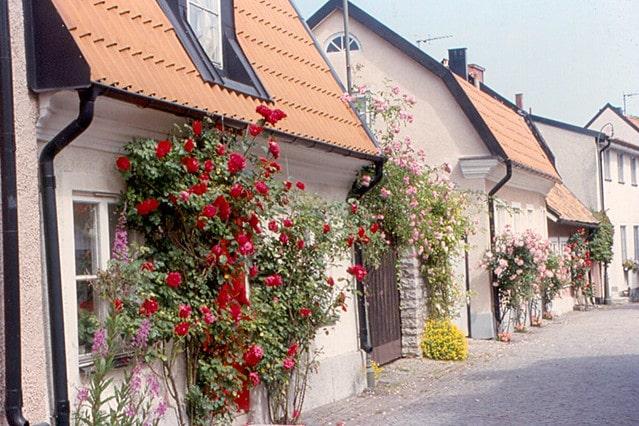 trandafiri Gotland