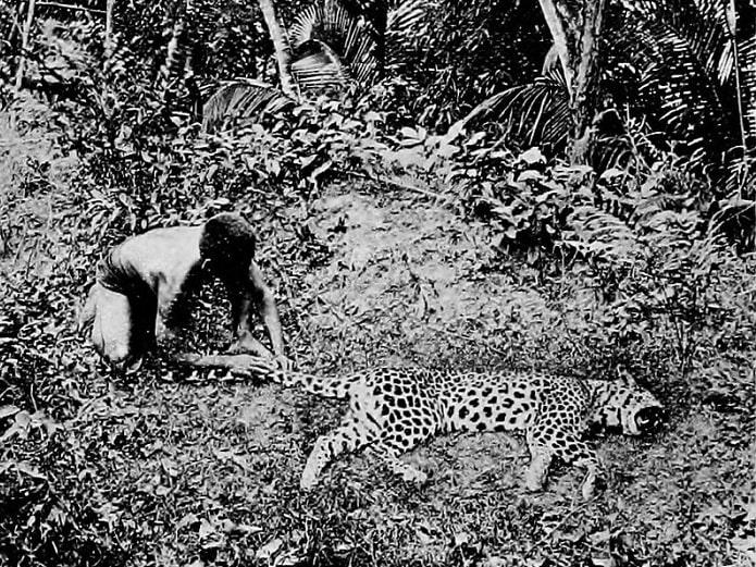 leopard impuscat