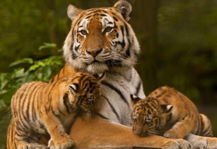 Femela tigru alaturi de pui