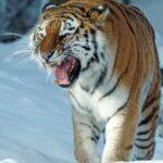 Tigrul Siberian – Adevăratul Rege al Animalelor