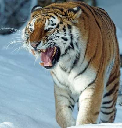 Tigrul Siberian - Adevăratul Rege al Animalelor