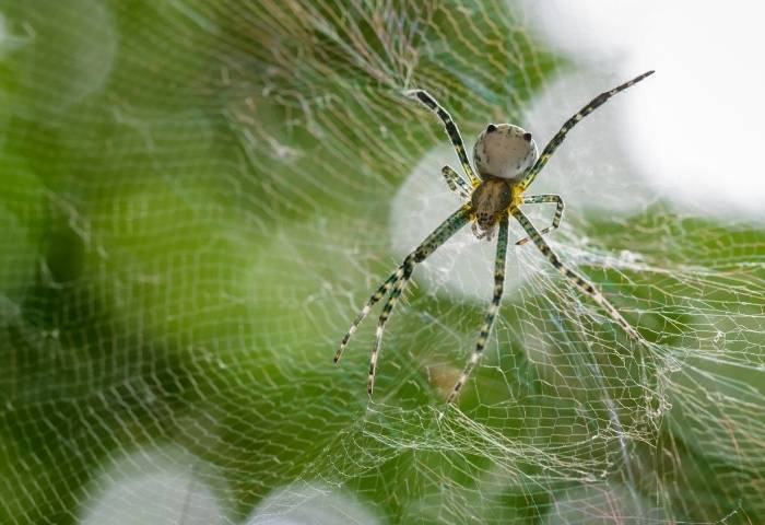 Păianjenul de cort (Cyrtophora moluccensis) și pânza acestuia