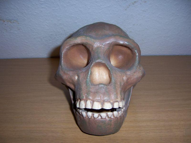 Craniu de sinantrop