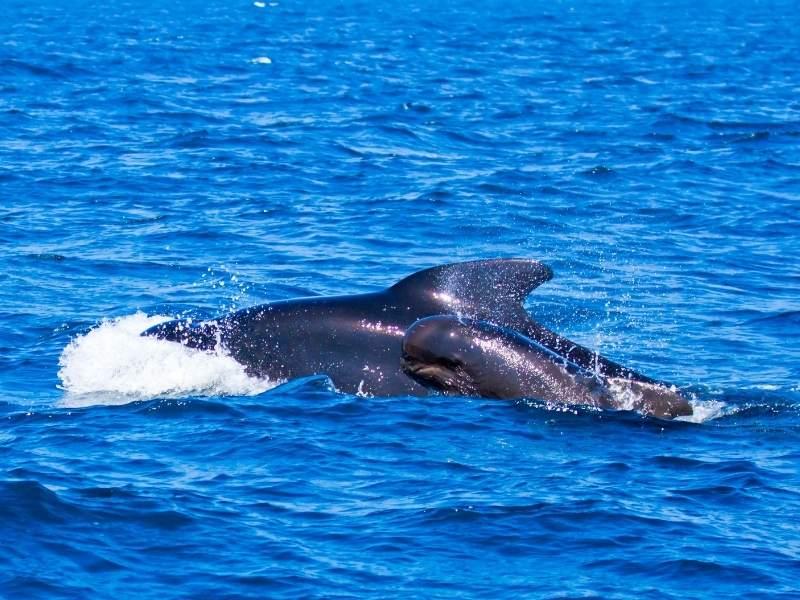 Balena cu Cocoasa si puiul acesteia (poza facuta in Stramtoarea Gibraltar)