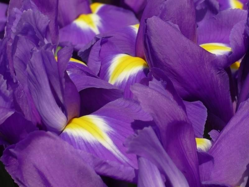 Flori de Iris