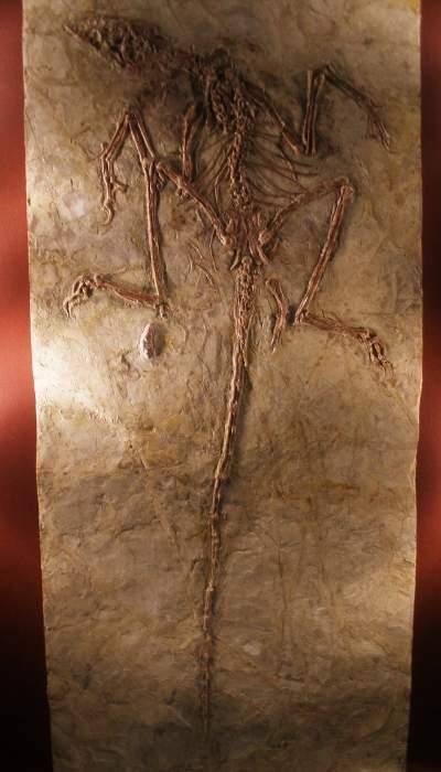 Fosilă a unui Microraptor zhaoianus
