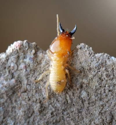 Termitele și performanțele arhitectonice ale acestora