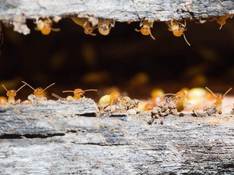 Lemnul - mâncarea preferată a termitelor